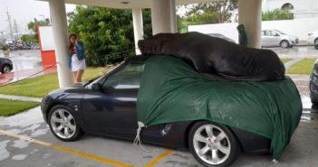 Lobo marino sobre un MG en Punta del Este